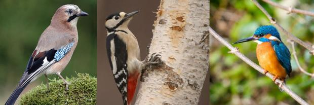 Jay, Great Spotted Wood Pecker, Kingfisher - all regular visitors to Grosvenor & Hilbert Park